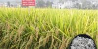 """学校""""泰优871""""荣获""""寻找中国好大米""""最受喜爱的十大优质稻米品种 - 江西农业大学"""